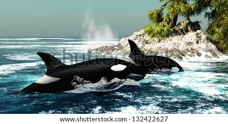 Orca Killer Whales - Two Killer whales swim into an ocean inlet looking for fish or seal prey.
