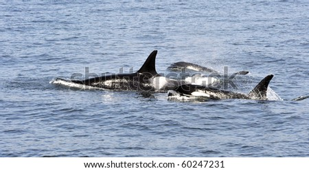 Orca mother and calves in Pacific off Victoria - stock photo
