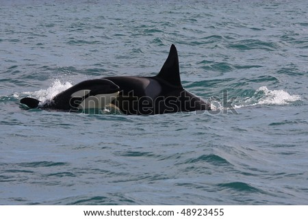 Orca or killer whale young and adult breaking the waves, Iceland, Atlantic Ocean - stock photo
