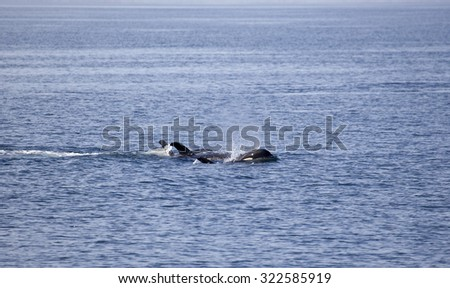 Orca pod in the waters of Johnstone strait, Vancouver Island, British Columbia, Canada - stock photo