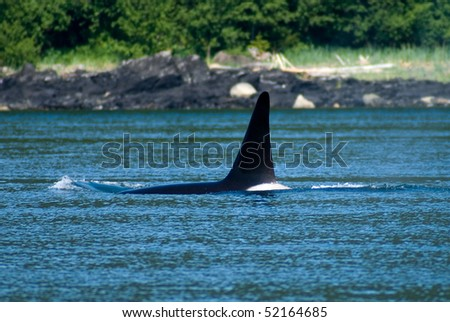 Orca pods swimming near Juneau, Alaska