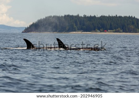 Orca swimming in the ocean - stock photo