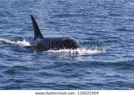 Orca Torpedo - An orca so close and on a collision course that it looked like a torpedo heading for our boat. Johnstone Strait, Campbell River, Vancouver Island, Canada