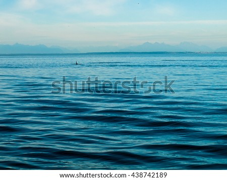 Orca Whales on the Surface of the Water in Puget Sound, Washington USA - stock photo