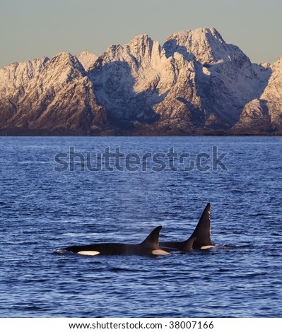 Orcas, Vestfjord, Lofoten, Norway - stock photo