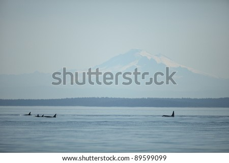 Orcas with Mount Baker in the background - stock photo