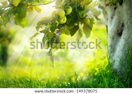 Orchard. Apple trees. Growing Organic Apples - stock photo