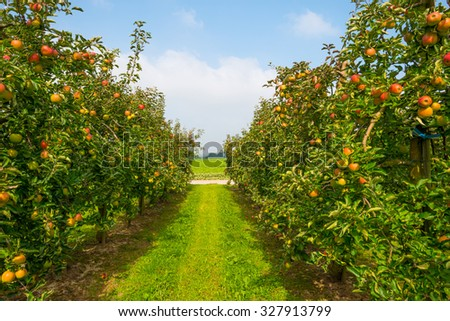 Orchard with apple trees in a field in summer