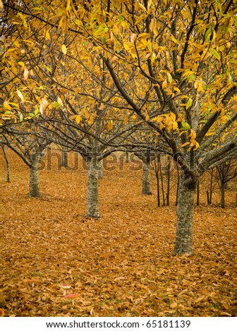 Orchards lose their leaves in a spectacular display of autumn colours