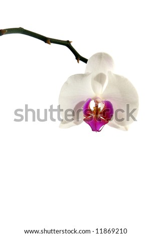 Orchid A beautiful white orchid isolated over white background.