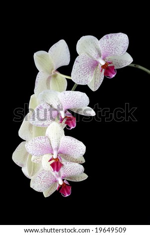 Orchid at black background - stock photo