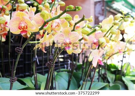 Orchid background blur. summer decor close-up Flower shop - stock photo