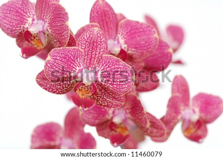 Orchid Beauty - stock photo