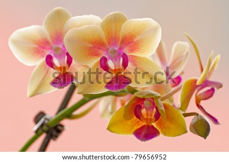 orchid bloom in front of orange background - stock photo