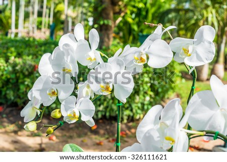 Orchid blooms White Moon On the morning sun - stock photo