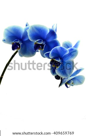Orchid blue beautiful flower and white background - stock photo