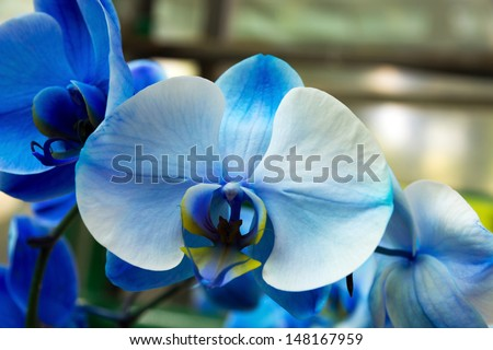 orchid blue blossom flower tropical close up