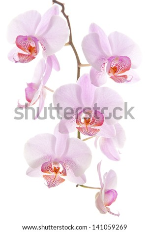 Orchid branch on white background - stock photo
