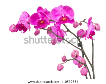 orchid branch  with violet flowers isolated on white background - stock photo