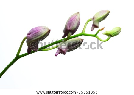 Orchid bud isolated on white background - stock photo