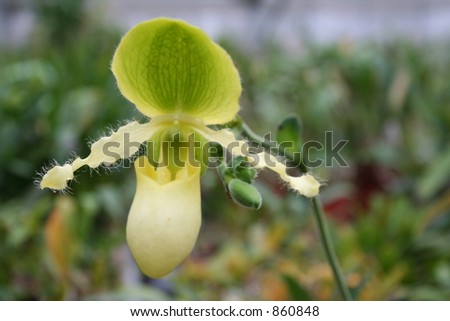 Orchid coloured like leaves - stock photo