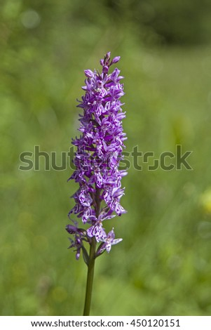 Orchid flower discovered on a peat meadows in Ammergau - stock photo