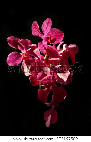 Orchid flower isolated over black background. - stock photo