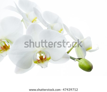 Orchid flower on a white background - stock photo