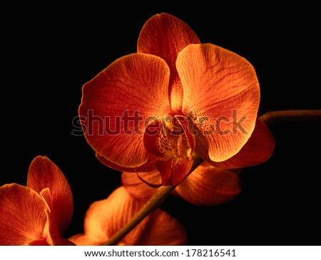 orchid flower on black background - stock photo