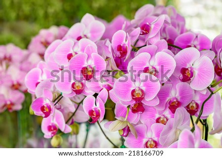 Orchid Flower, Phalaenopsis purple pink -red  x hybrid Orchid flower bloom with soft focus and blur background - stock photo