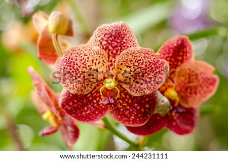 Orchid Flower, Phalaenopsis red yellow Stripe x hybrid Orchid flower bloom with soft focus and blur background - stock photo