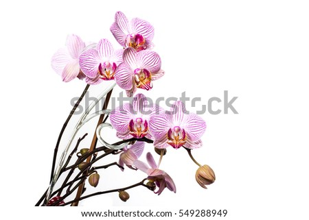 Orchid flowering isolated on white