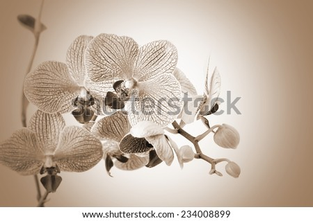 Orchid flowers on sepia  background - stock photo