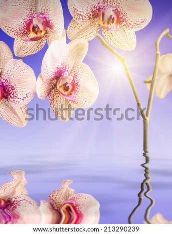 Orchid flowers, reflected in water - stock photo