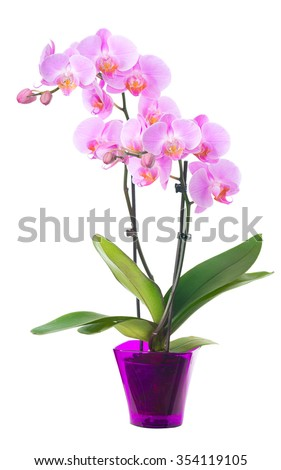 Orchid in a flowerpot. Isolated