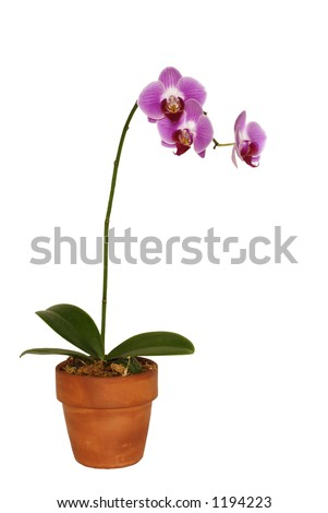Orchid in a pot with three blossoms.   Isolated on white background - stock photo