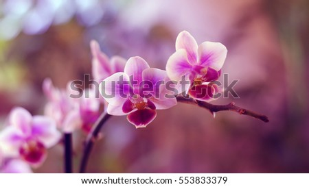 Orchid in pink white colors