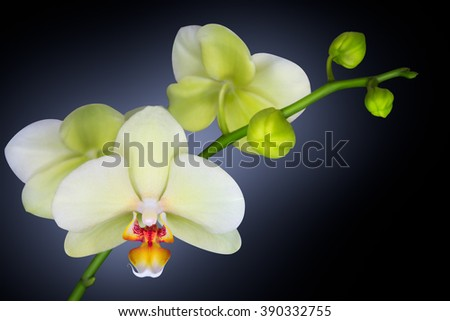 orchid isolated on black with blue light background