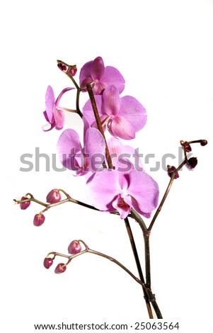 Orchid - isolated on white