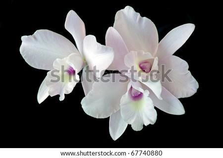 Orchid: Laeliocattleya Happy Essence 'Pinkie' - stock photo