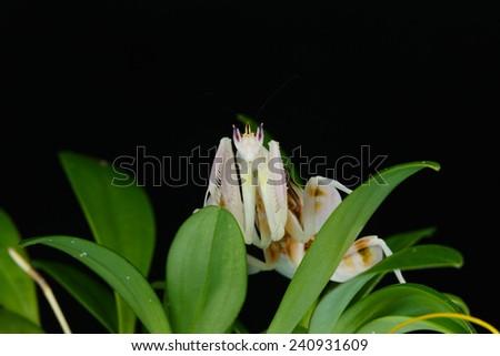 Orchid mantis grasshopper. Preying mantis. - stock photo