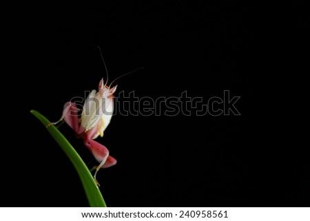 Orchid mantis grasshopper. Preying mantis. Male. - stock photo