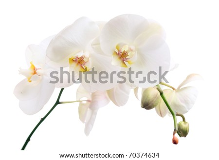 orchid on a white background (phalaenopsis)