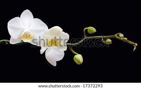 orchid on black - stock photo