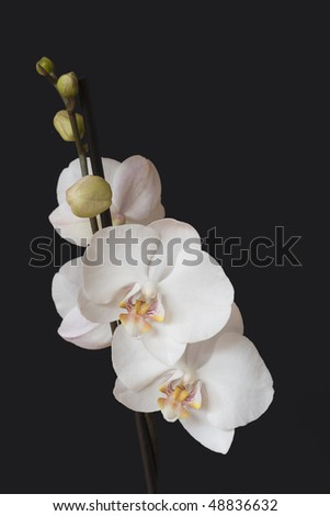 Orchid on the black background.