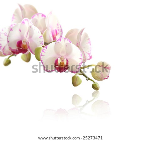 Orchid on white - stock photo