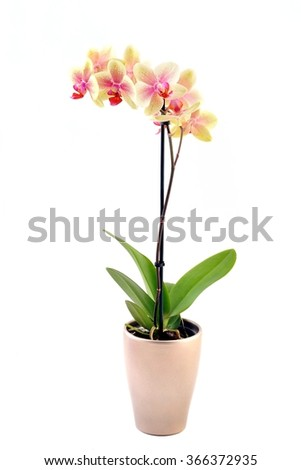 Orchid. Orchid flowers. Beautiful orchid flowers isolated on white. Orchid in flowertop. Beautiful orchid flower.  - stock photo