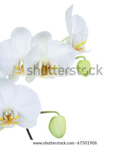 Orchid over white - stock photo