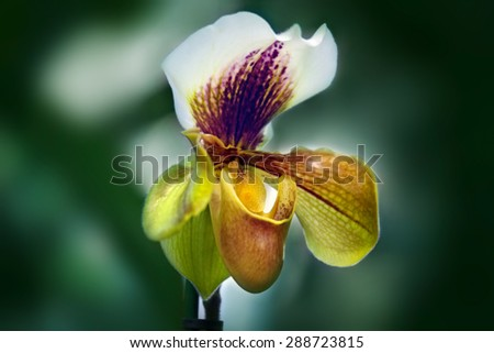 Orchid (Paphiopedilum) on green background - stock photo