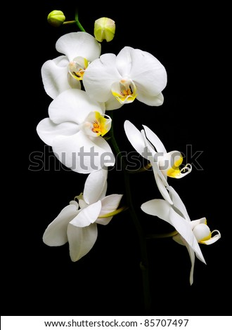 Orchid Phalaenopsis. Flowers white orchids on a black background. - stock photo